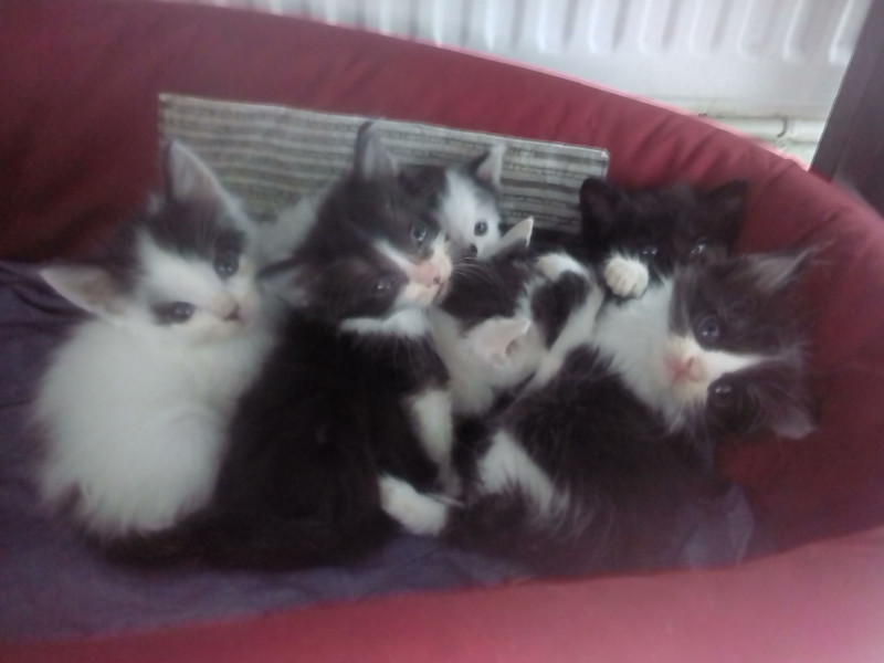 Donne Chatons Houppeville