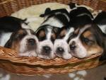 Donne pour adoption contre bons soins chiot de type Basset hound
