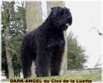 BOUVIER DES FLANDRES du Clos de la Luette DISPONIBLE 4