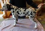 Dalmatien mâle inscrit au L.O.F. & testé P.E.A.