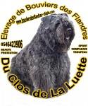 BOUVIERS DES FLANDRES DU CLOS DE LA LUETTE - CHIOTS DISPO-RESERVA 1