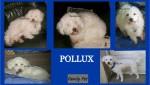 POLLUX BICHON 10 ANS PERDU OU VOLE 2